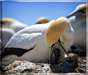 5th Dec 2014 - Gannet chick