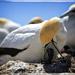 Gannet chick by rustymonkey