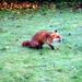 Foxie chap (15/52)