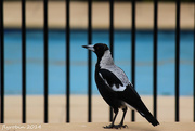 7th Dec 2014 - Magpie by the fence