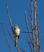 7th Dec 2014 - Mockingbird Profile--Morning Walk