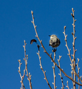8th Dec 2014 - Mockingbird from Behind