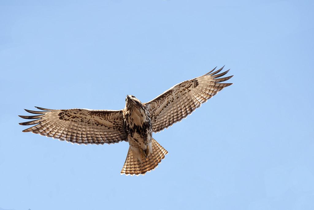 Red Tail Hawk! by fayefaye