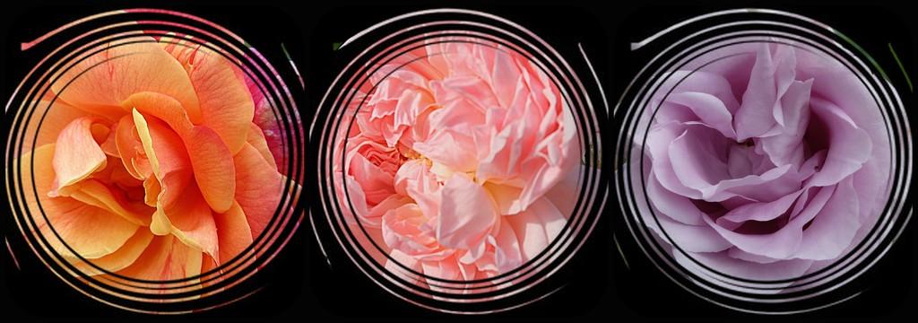 Sending you roses..... by quietpurplehaze
