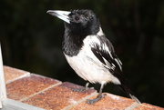 8th Dec 2014 - Wet Butcher Bird