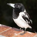 Wet Butcher Bird by terryliv