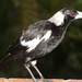 Wet Magpie by terryliv