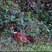 Pheasant by rosiekind