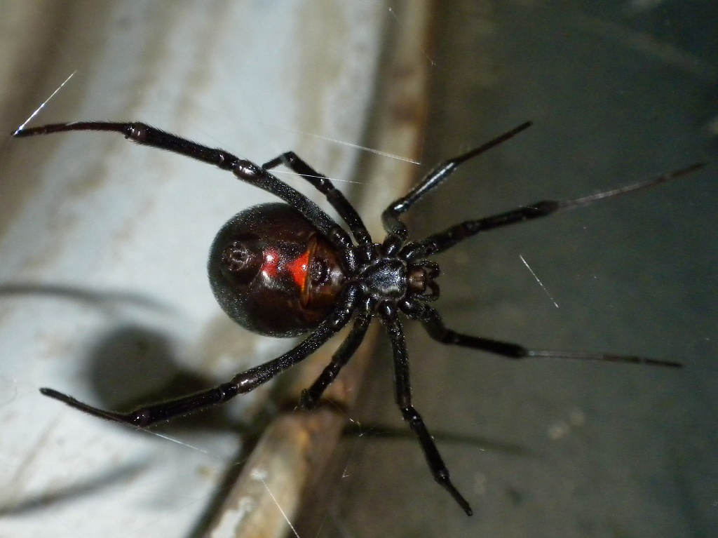Black Widow by robv