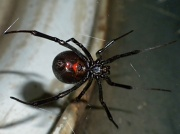 25th Oct 2010 - Black Widow