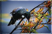 7th Dec 2014 - Our native Tui