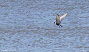 9th Dec 2014 - Tern in flight