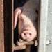 Peeping pig - 6-12 by barrowlane