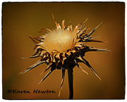 8th Dec 2014 - Thistle flower