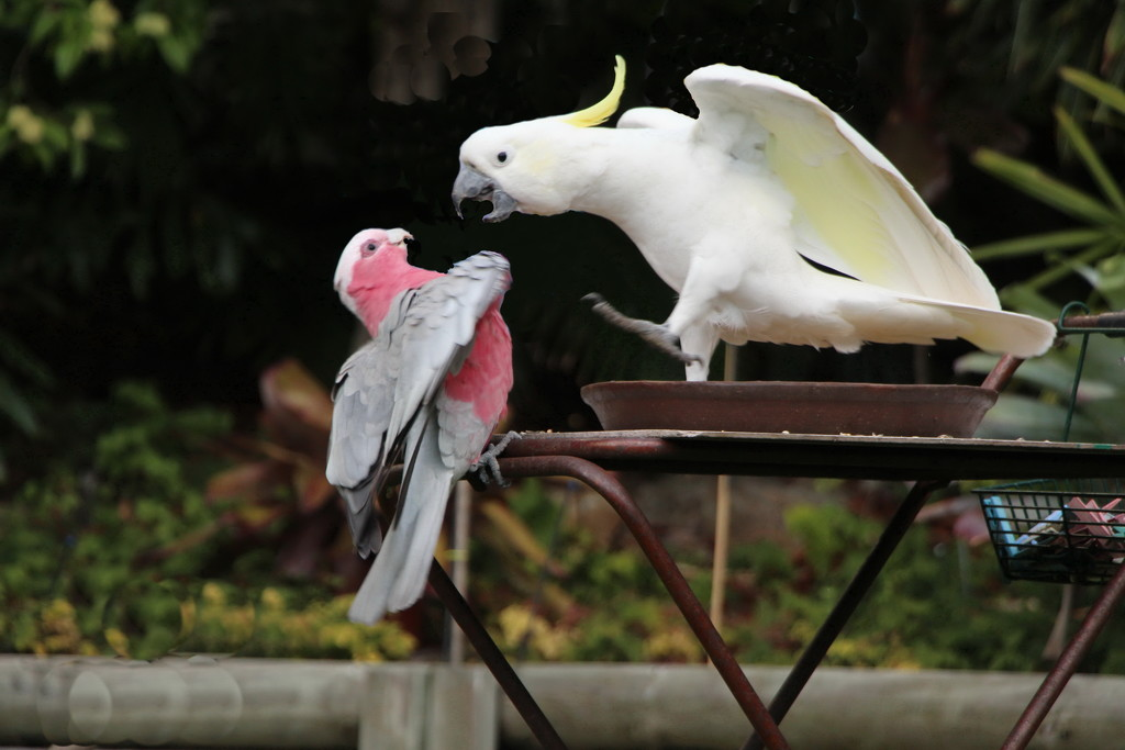 Galah vs Sulphur Crested Cockatoo by terryliv