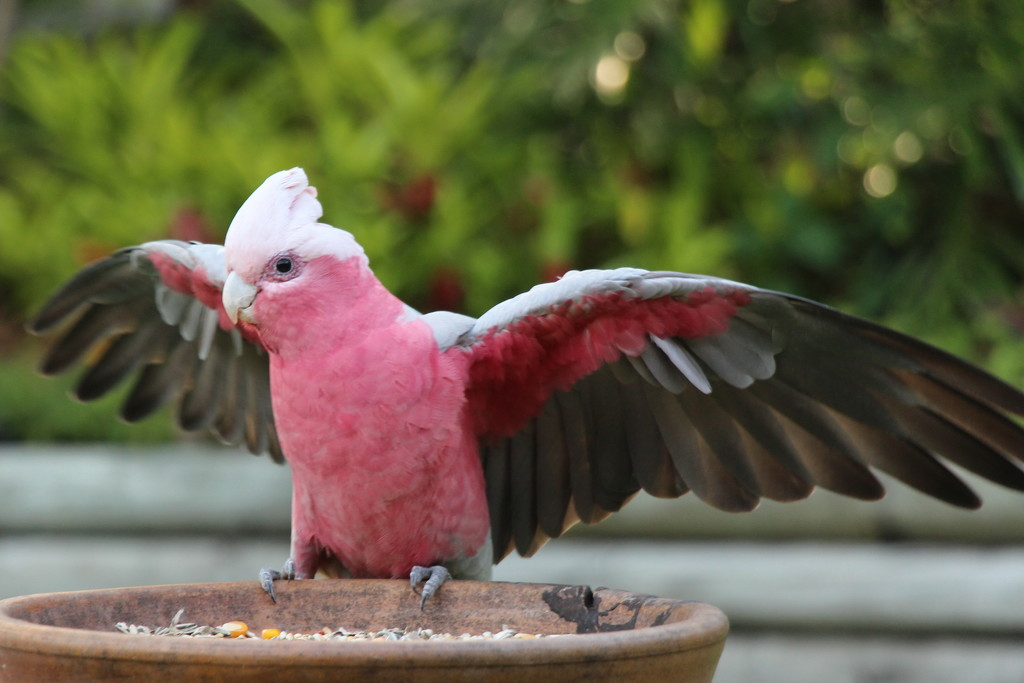 Mr Galah by terryliv