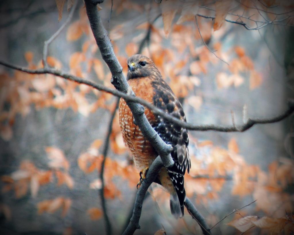 Moe Hawk, Faux Hawk, Tommy Hawk? by alophoto