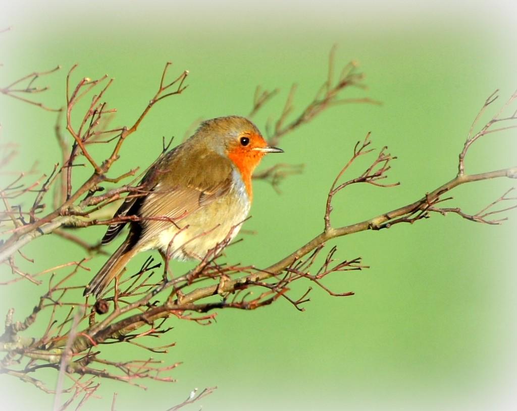Fluffy robin by rosiekind