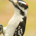 Male downy woodpecker by mccarth1