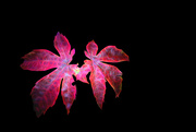10th Dec 2014 - Zombied Leaves