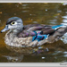 Colourful Duck by pcoulson