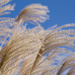 Pampas Grass by ksmale