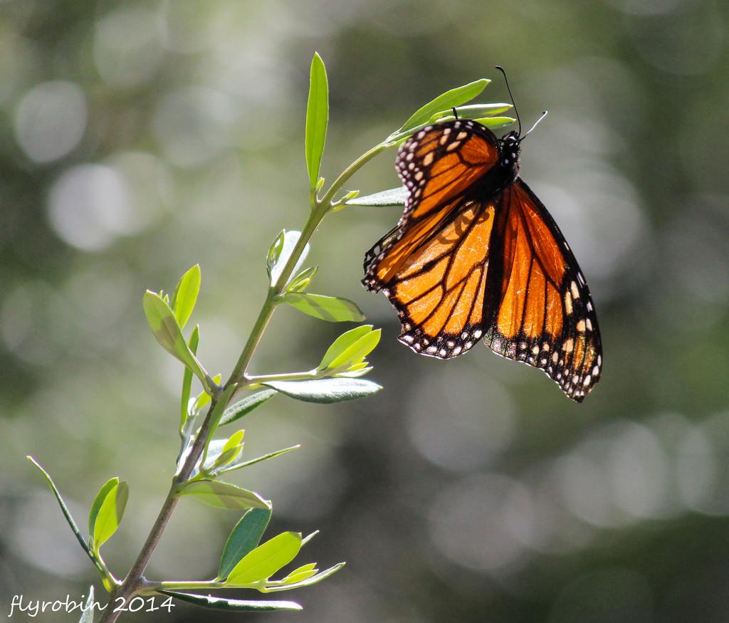 Butterfly bokeh by flyrobin