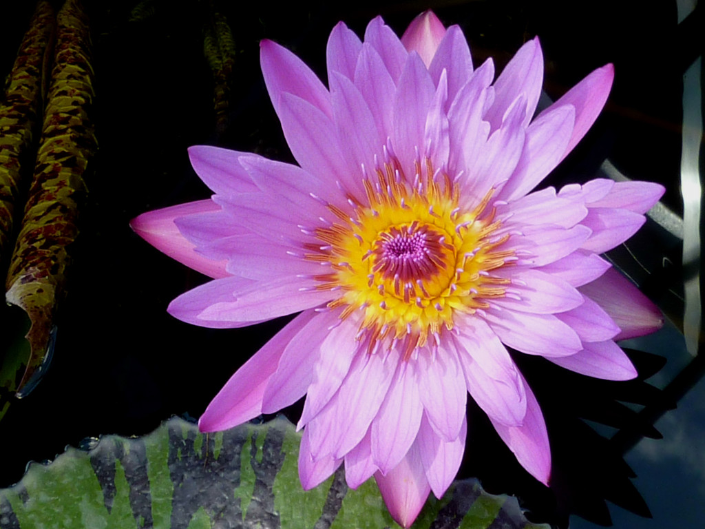 Pink Water Lily by denisedaly
