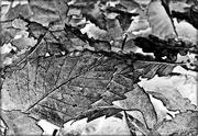 13th Dec 2014 - Leaves In Monochrome