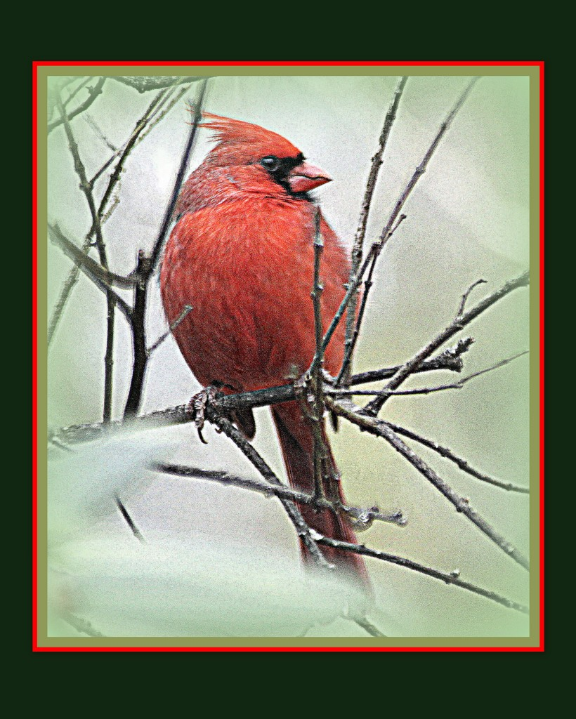 Cardinal in the cold by vernabeth