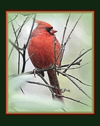 11th Dec 2014 - Cardinal in the cold