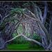 Tangle of Pohutukawa... by julzmaioro