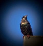 14th Dec 2014 - Starling (US--south)?
