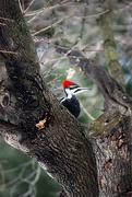 14th Dec 2014 - Peek-a-Boo Woodpecker!