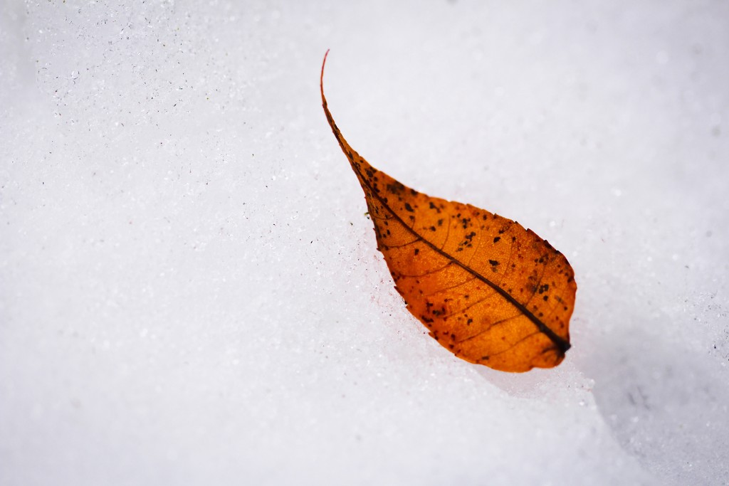Leaf and Snow  by mzzhope