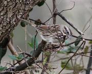 14th Dec 2014 - Song Sparrow