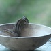 Chipmunk in a bowl by teiko