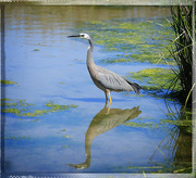 15th Dec 2014 - Heron