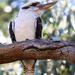 Kookaburra bokeh by flyrobin