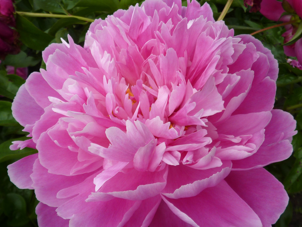 Pink Profusion by denisedaly