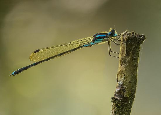 dragonfly boy by kali66