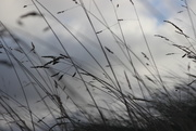15th Dec 2014 - Marsh Grasses
