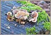 16th Dec 2014 - Fungi And Moss