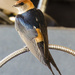 Greater Striped Swallow by salza