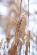 16th Dec 2014 - Golden GRASS!