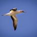 gannet #229 by ricaa