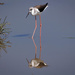 Reflections of a Stilt. by pusspup