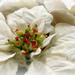 Holiday 18 - White ponisettia
