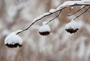 18th Dec 2014 - Nature's Christmas ornaments!