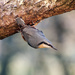 Nuthatch 19-12 by barrowlane